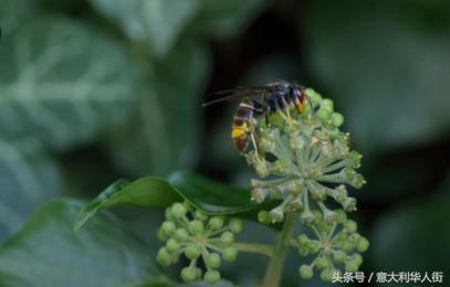 法國一農民被亞洲黃蜂蜇后身亡,大家小心防范