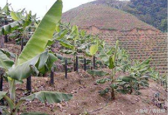 山坡地香蕉栽培技术