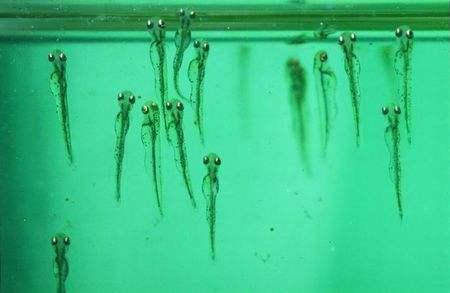 金鱼不同阶段的发育和营养需求!