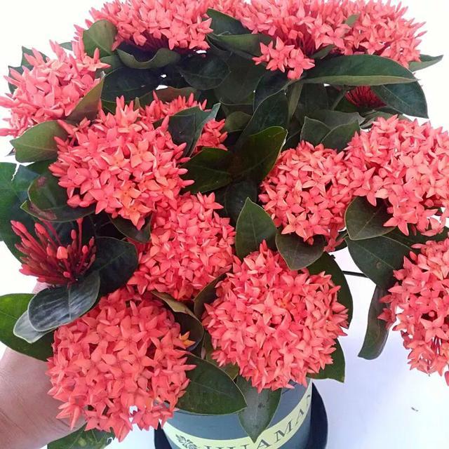 国庆前种植此花最是适合,花开如绣球,比绿萝吊兰都好养!