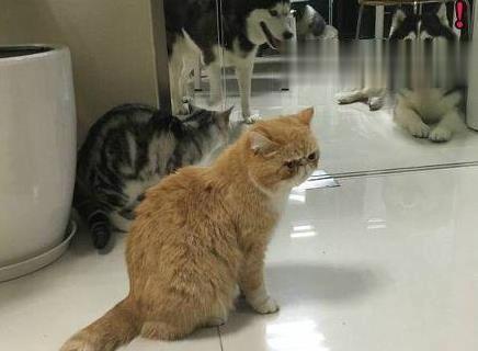 """这年头,买猫居然送""""雪哈"""",哈士奇现在这么便宜吗?"""