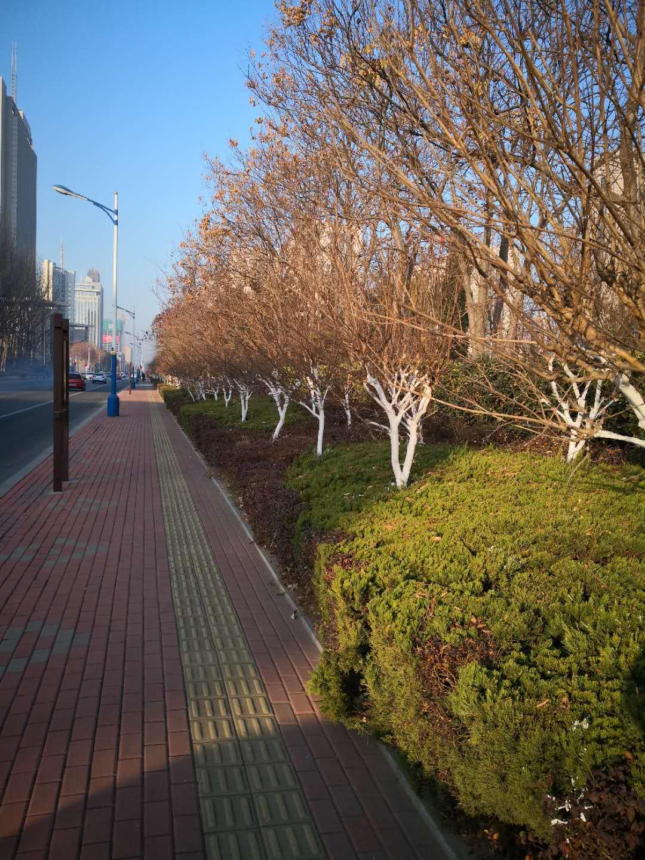 """天气寒冷,滨州城区苗木穿上暖暖的""""防寒服""""!"""