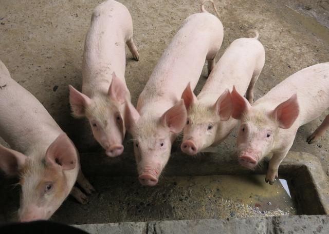 仔猪价格创新高,年前空栏养猪户是否应及时补栏
