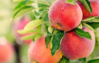 目前苹果多少钱一斤?山东货源拿货价6元一斤左右,存货抬价明显