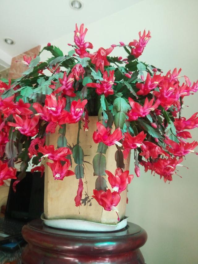"""秋季养""""蟹爪兰"""",10天浇1碗肥水,开花多3倍,花朵大、花色艳"""