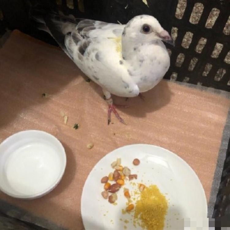 郑州市民自称捡到国庆庆典和平鸽,喂食后已放飞!专家称应是误会
