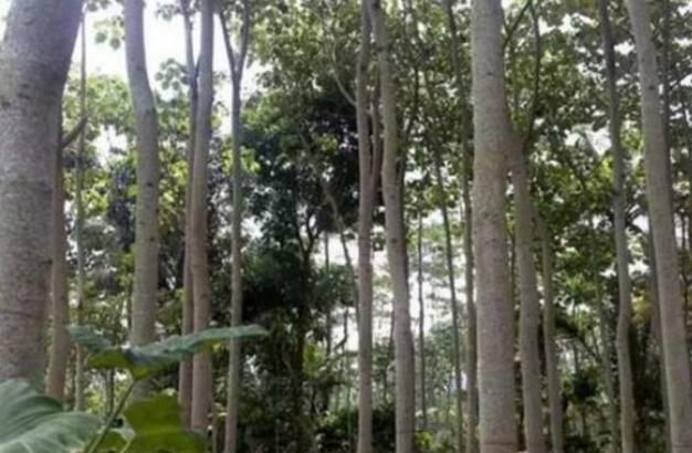 它是世界上最轻的树,外国人用它造飞机,中国人却用来做暖瓶塞