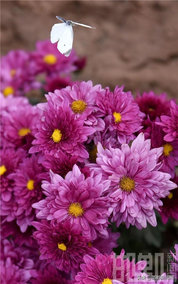 邯郸市肥乡区第三届金秋菊花节在东漳堡镇举行
