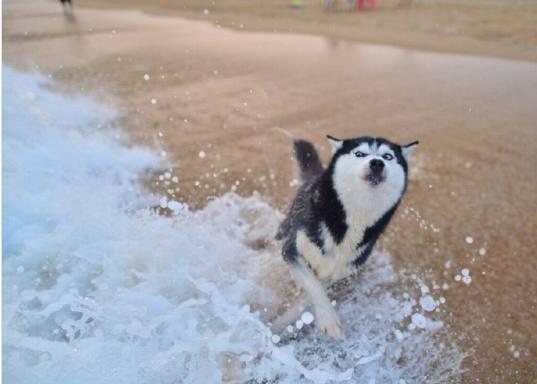 天生自带游泳技能的哈士奇,被一个浪花吓成这个样子!