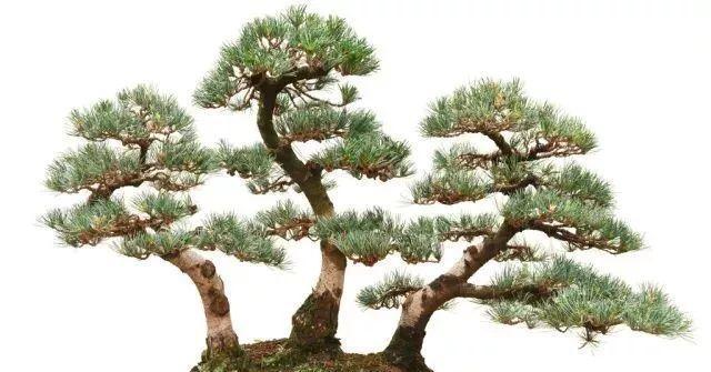 国家各项绿化政策的实施,盆栽观赏树苗木发展前景广阔!