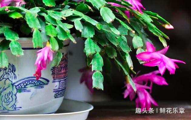 """盆栽蟹爪兰不开花?喂点点""""小零食"""",花苞开爆盆,枝头挂满花"""