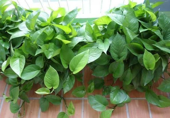 """养绿萝、发财树,叶片油绿、长得快,学会""""小秘诀"""",你也可以!"""