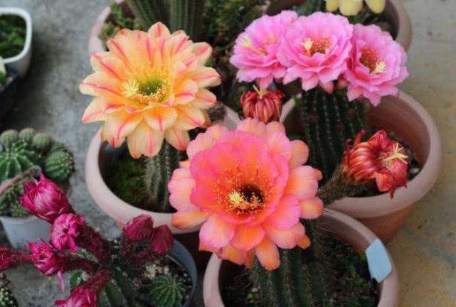 """见过""""仙人球""""开花吗?掌握3点就够了,年年开花,花朵美到惊艳"""