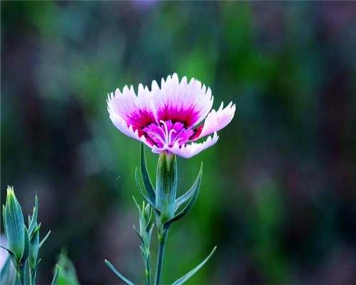 瞿麦花如何养?教你3个养护瞿麦花的小妙招,花开旺盛还能驱蚊