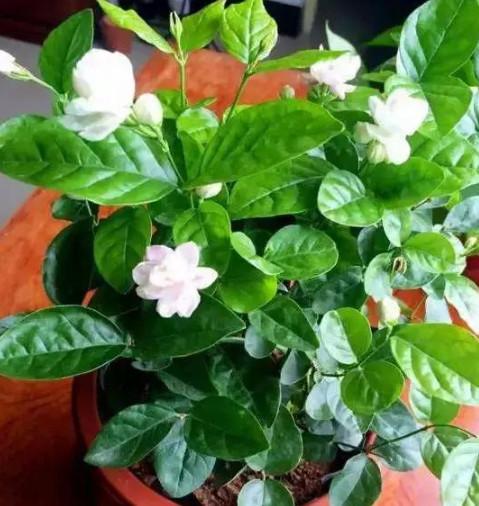 ''茉莉花''黄叶又掉蕾?做好4点,叶绿开花多,比栀子花还香、还美