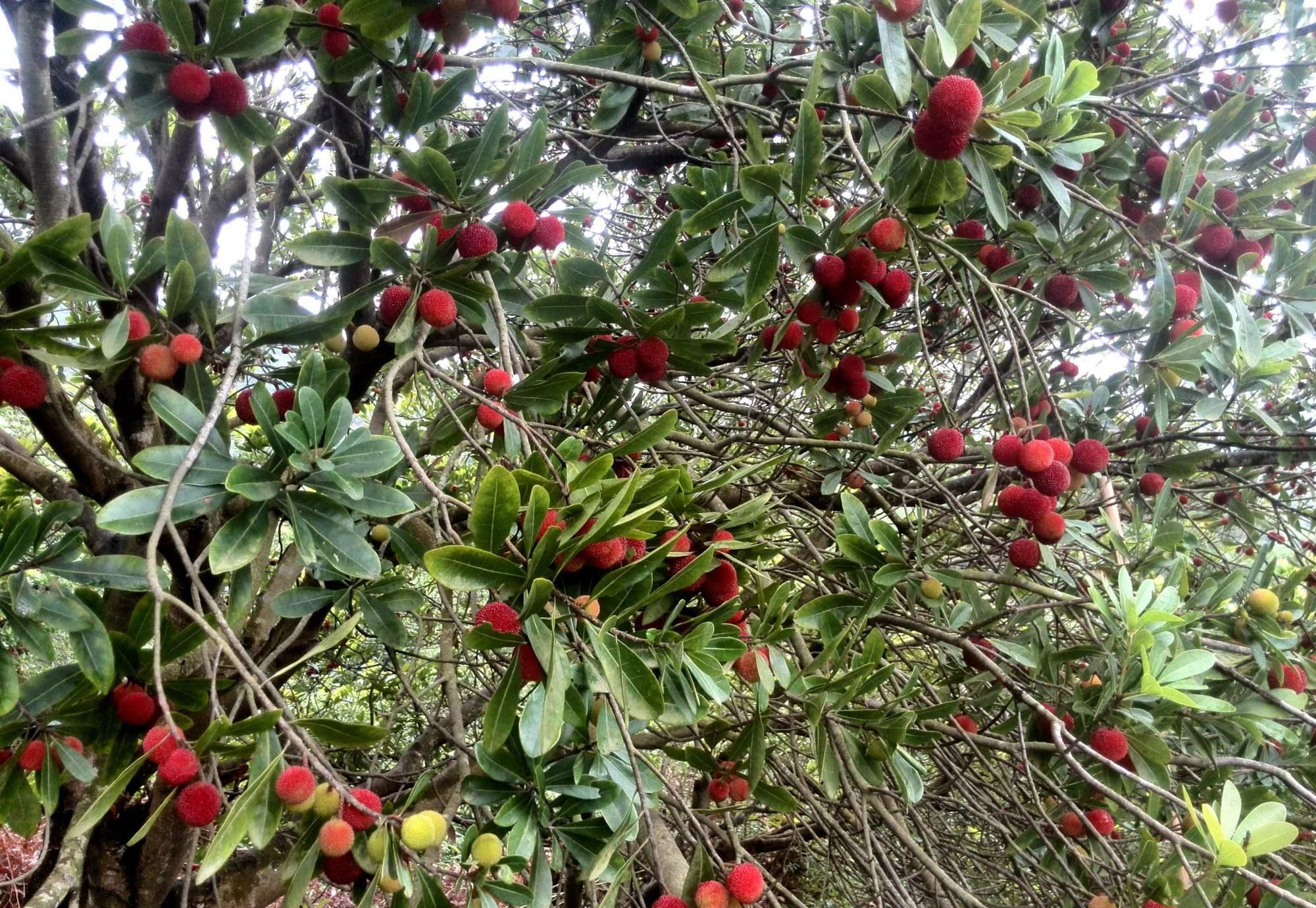 有种水果不小心就烂,但在外国人眼中却是稀罕货,吃过吗?