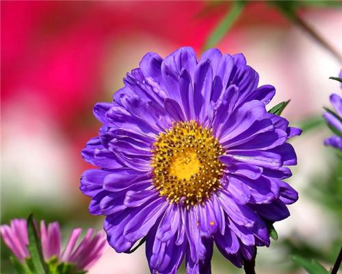喜欢养菊花,不如养盆翠菊,花色鲜艳颜色丰富,养护简单只需3招
