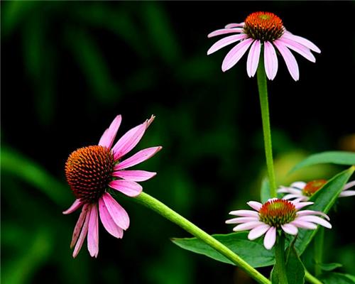 喜欢养菊花,不如养盆松果菊,花形奇特花色丰富,养护简单仅3招