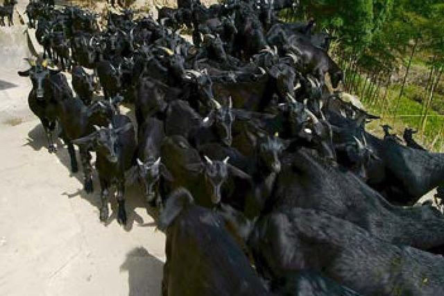 掌握问、视、触、叩、听5种识别病羊方法,可以减少羊只死亡率