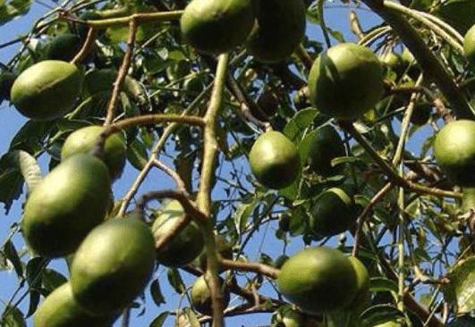 有种水果,外国当香水用,国内煮熟当甜品吃,维C含量比猕猴桃高