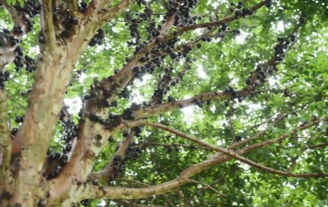 树干上长着上千颗水果,很多人看了头皮发麻,但叫价120元一斤