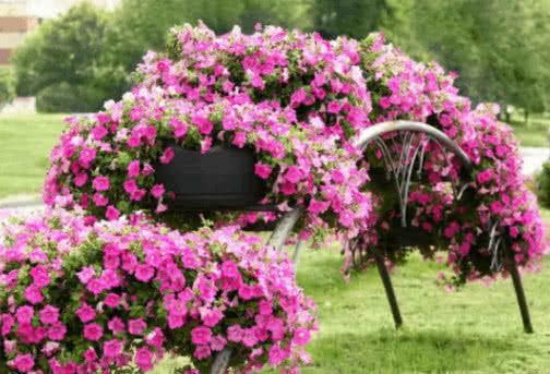 """养""""矮牵牛""""抓住3个""""关键点"""",开花爆满盆,1棵开花300朵,美"""