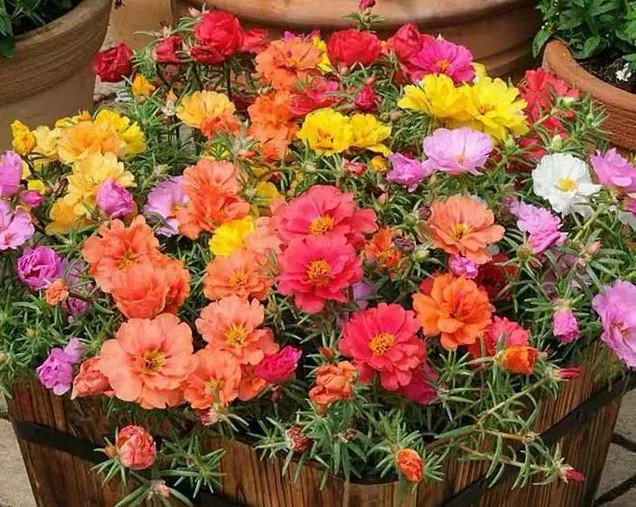 """1种花""""了不起"""",今天扦插,明天就生根,好养漂亮,比牡丹还美"""