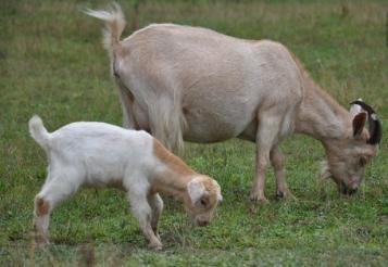 提高山羊肉品质的措施有哪些?采用小述方法可以提高养殖效益