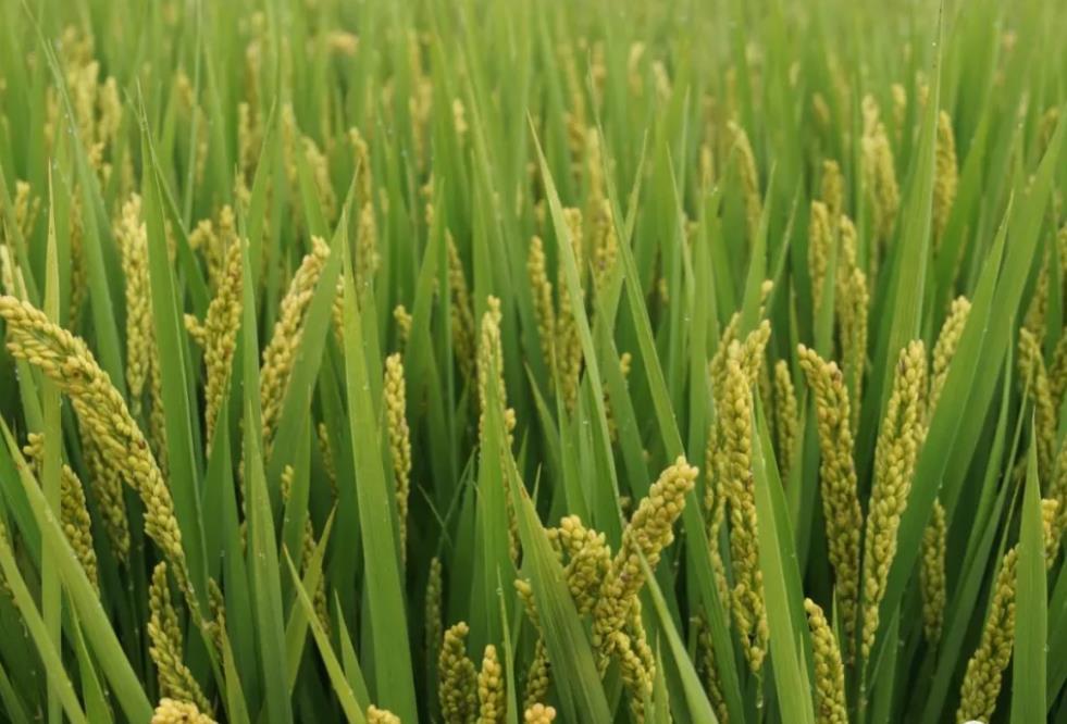 水稻中后期能用尿素吗?农民用对了产量高,用错了颗粒无收