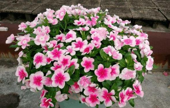 """""""5种花""""是开花机器,好养又漂亮,一开就是300多天,养1盆真值"""