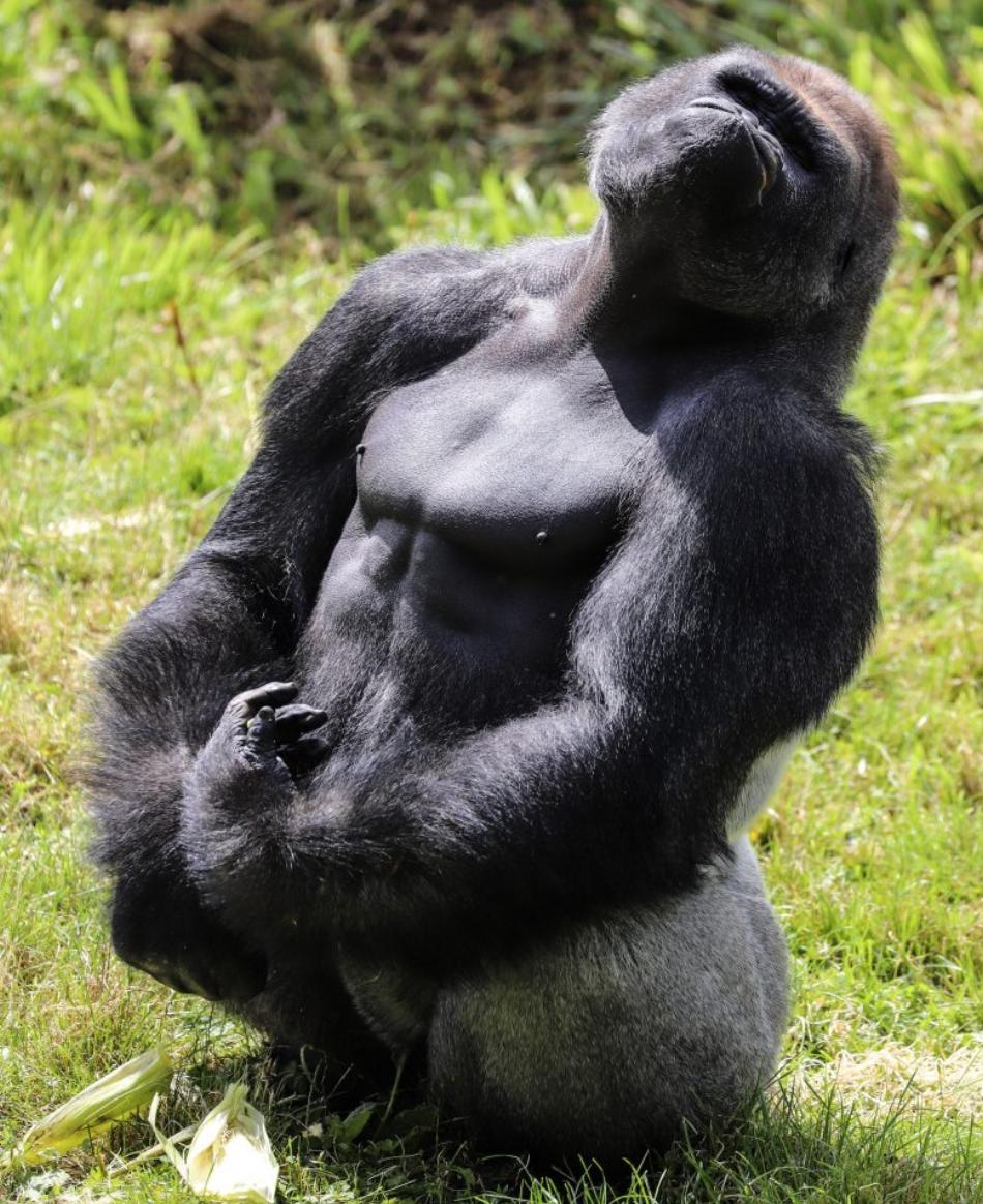 好嗨哟!这只大猩猩对着空气弹吉他,哈哈哈