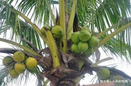 男子爬上18米高椰子树,3年都没下来,全靠母亲送水和食物度日