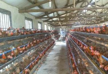 开放式鸡舍、封闭式鸡舍、半封闭式鸡舍,三种鸡舍类型如何取舍?