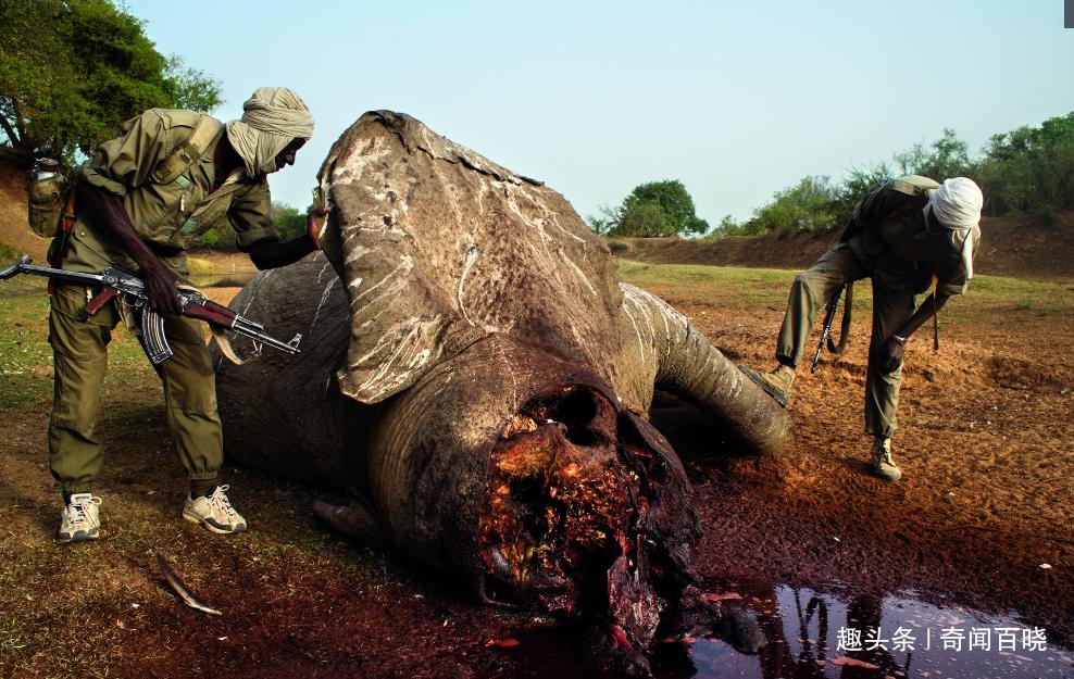 非洲扎库马,人们的欲望是金色,大象的悲歌是血色
