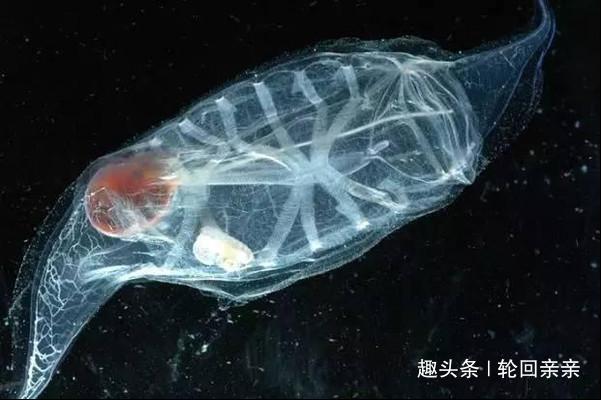 世界上最透明的鱼,比海水还透彻,遇到它们切记不要捕抓