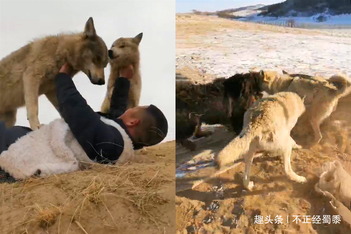 藏獒混入狼群1年成狼王,每天却护住第一口肉,孝敬老狼王