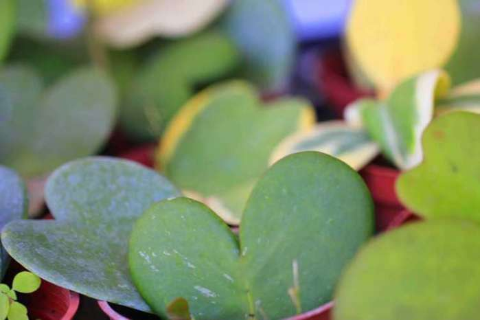 多肉植物每日品种介绍——心叶球兰