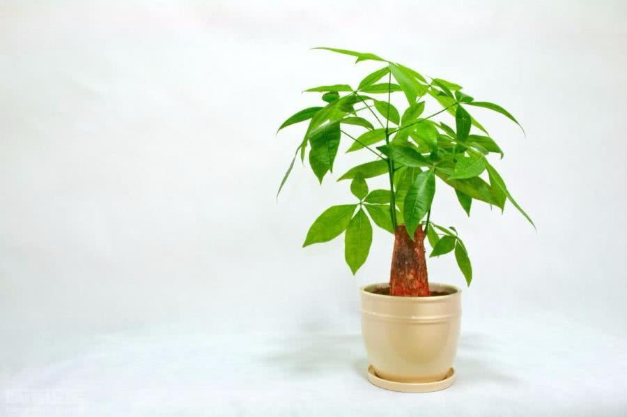给发财树浇水,你得学学这些方法,猛窜新芽!
