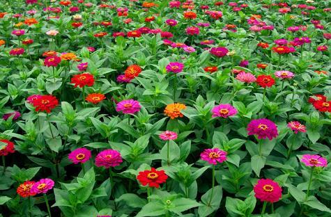 <b>家中养几款菊花,秋天开成花海,花朵娇艳妖娆,花朵鲜艳美丽</b>