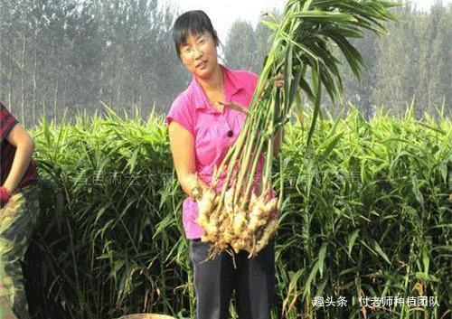 农民种生姜,采收方法有技巧,教会你如何采收生姜
