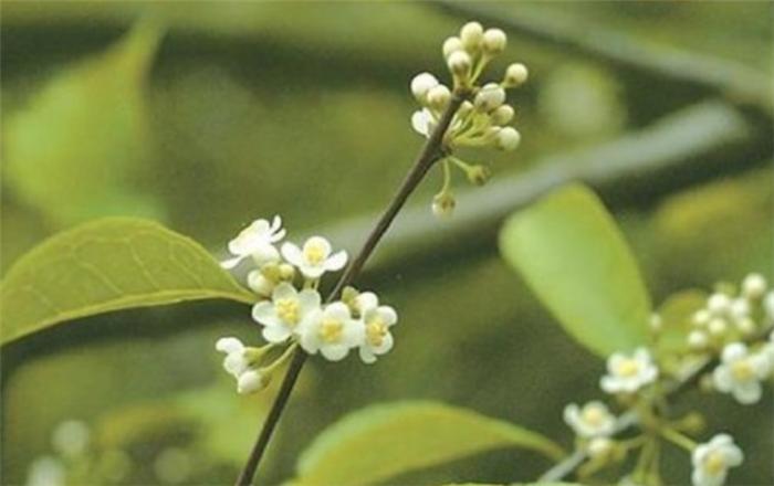 农村这种植物是凉茶的原料,农村孩子喜欢喝王老吉的,还记得吗?