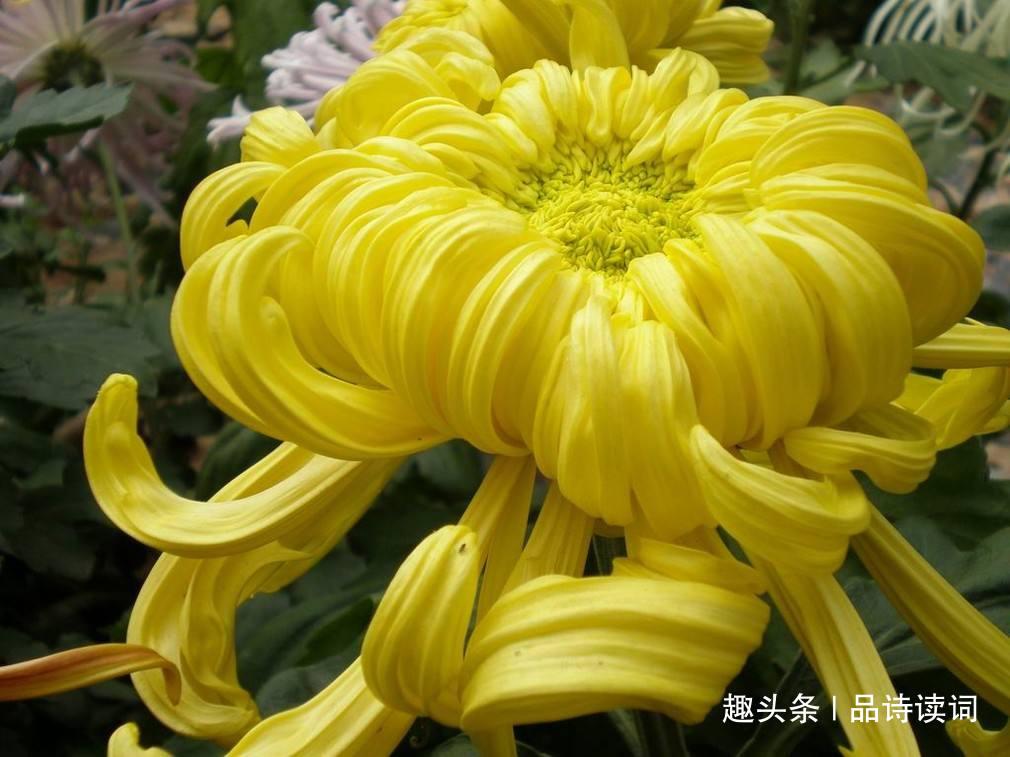 元稹的这首《菊花》,也是一首难得的名篇,通篇写得很是唯美!