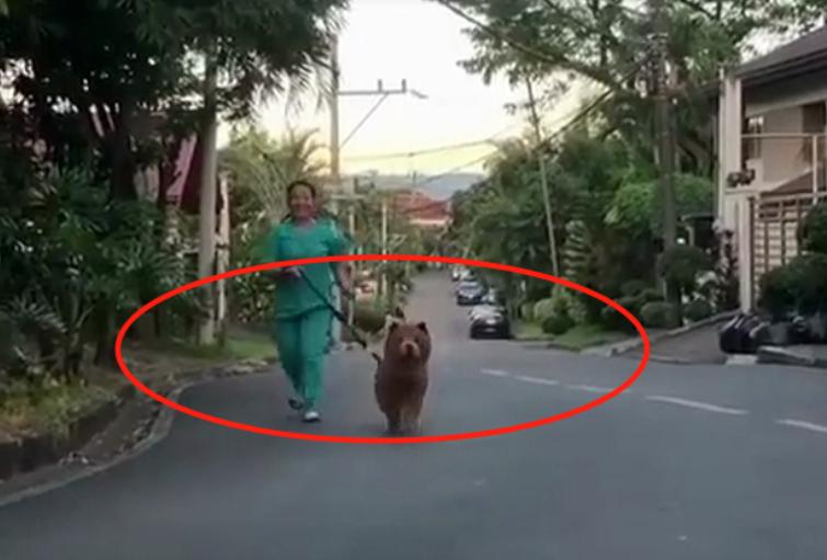 """偶遇一位女子""""遛熊"""",结果却是一只蠢萌松狮,网友:真是狗熊呀"""