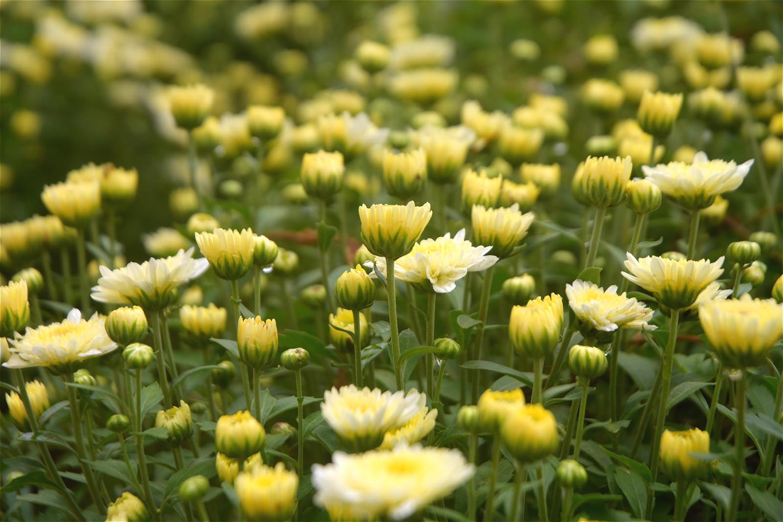 """农民种植特色作物,摘掉鲜花就能卖钱,人力劳动成""""拦路虎"""""""