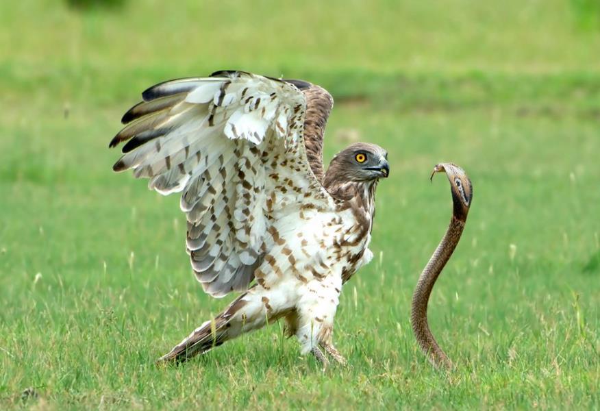 眼镜蛇和老鹰的生死大战老鹰的战术变换让眼镜蛇遭到了灭顶之灾