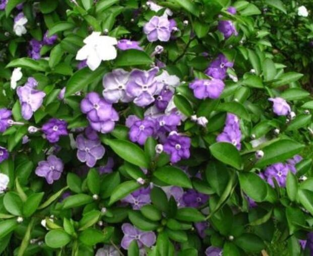 <b>秋季养花,不如养盆双色茉莉,花型小巧可爱,一爆盆上百朵!</b>