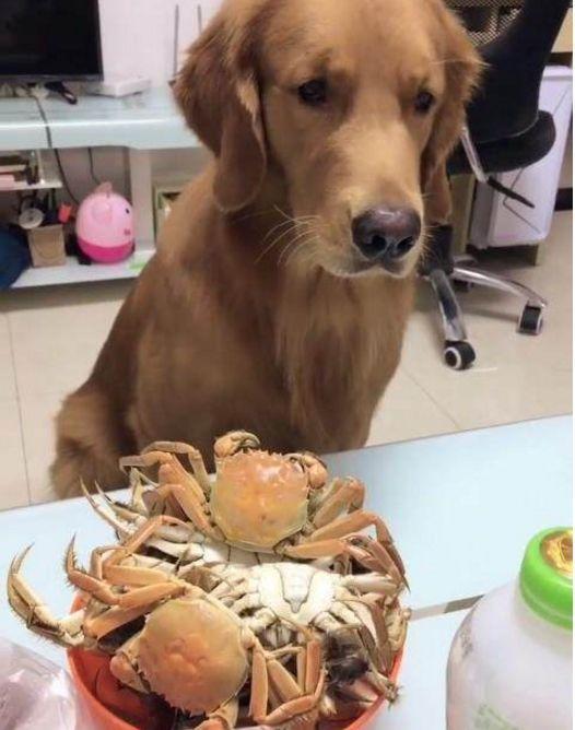 <b>女子当金毛面吃螃蟹,称:想吃拿东西换,金毛叼来的东西,尴尬</b>