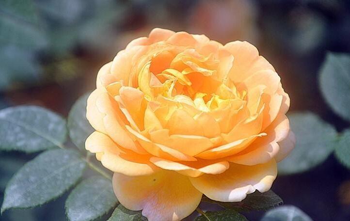 "<b>热爱养花,就该养盆""黄金庆典"",似黄金璀璨夺目,财富的象征</b>"