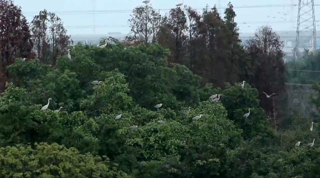 <b>世界最大一棵树:占地1.3万平方米,栖息着上千万只鸟,就在中国</b>