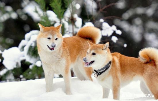 价格高得吓人的5种狗,很多人想养却养不起,网友:羡慕土豪
